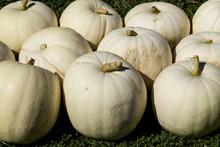 Large White Decorative Pumpkins