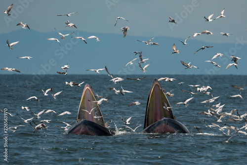 Bryde's Whales (Mother and Calf) hunting shrimps in the sea. This picture was taken in Thailand.