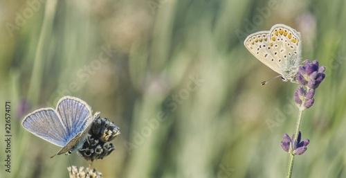 Fototapeta dwa różne motyle siedzące na gałązkach lawendy  na rozmytym zielonym tle obraz