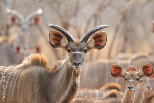Door stickers Antelope Kudu in sunset - Southern Africa