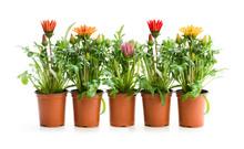 Colorful  Gazania Plants In Th...