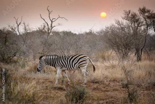In de dag Zebra Zebra during sundowner in africa