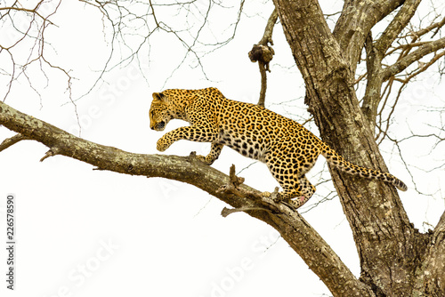 Tuinposter Luipaard Leopard sitting in tree - Africa wild cat