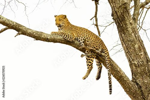 Keuken foto achterwand Luipaard Leopard sitting in tree - Africa wild cat