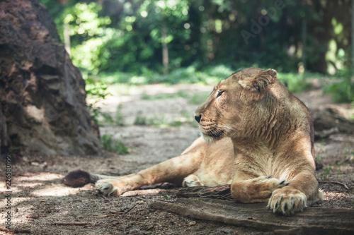 Fotografie, Obraz  portrait of a big beautiful lioness