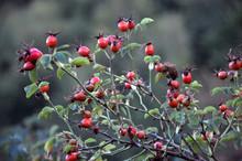 Dog-rose With Ripe Fruit
