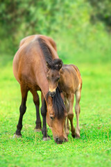 Bay little foal and mare on summer pasture rest and grazing