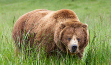 Massive Brown Grizzly Bear In ...