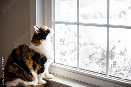 Fotografie, Tablou  Female, cute calico cat on windowsill window sill looking up at birds staring th