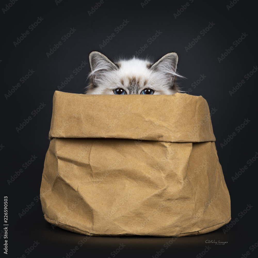 Fototapety, obrazy: Stunning tabby point Sacred Birman cat kitten sitting in brown paper bag looking just over edge straight in camera lens with mesmerizing blue eyes, isolated on black background