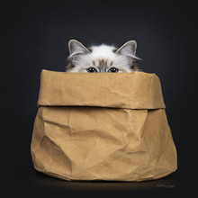 Stunning Tabby Point Sacred Birman Cat Kitten Sitting In Brown Paper Bag Looking Just Over Edge Straight In Camera Lens With Mesmerizing Blue Eyes, Isolated On Black Background
