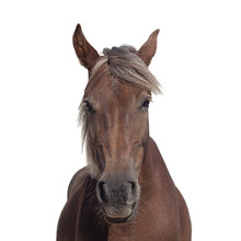 Portrait Of A Brown Horse With A Light Mane