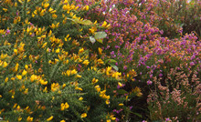 Pink Heather And Yellow Gorse Flowers In Bloom On The Irish Coastline Along The Ring Of Kerry In Ireland