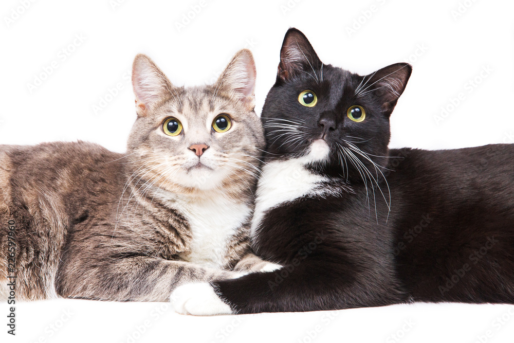 Two cats lying on white background. Pet and animals. Isolated on white. Gray, Black and white