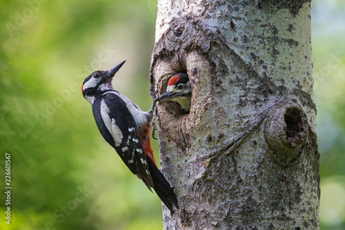 obraz PCV The Great Spotted Woodpecker on the Nest