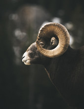 Side View Of Bighorn Sheep Sta...
