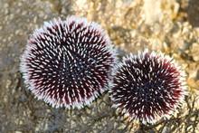 Albino Sea Urchin