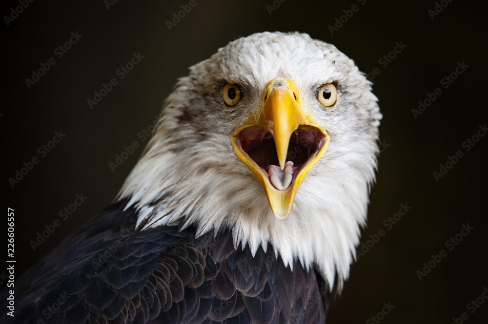 Close up portrait of a bald eagle (Haliaeetus leucocephalus)