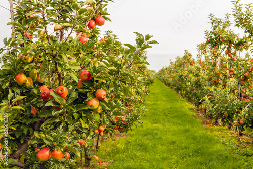 ripe-red-apples-ready-to-be-picked-in-a-modern-dutch-apple-orchard-with-espaliers