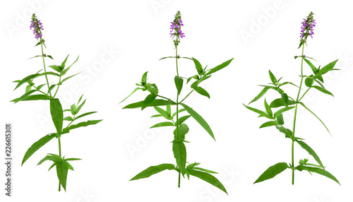Stachys Medicinal and Culinary Herb Plant Canvas Print