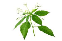 Impatiens Parviflora Medicinal...
