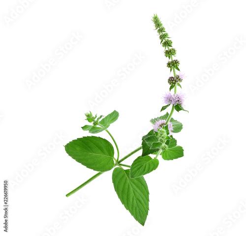 Fotografie, Obraz  Mint Herbal Plant Macro Close Up