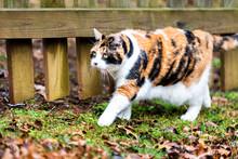 Closeup Of Curious Calico Cat,...