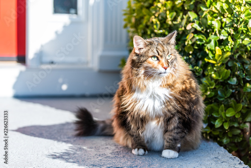 Foto  One scared, calico maine coon cat sitting outside, outdoors by red door hiding b