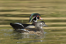 Wood Duck Couple Swimming In P...