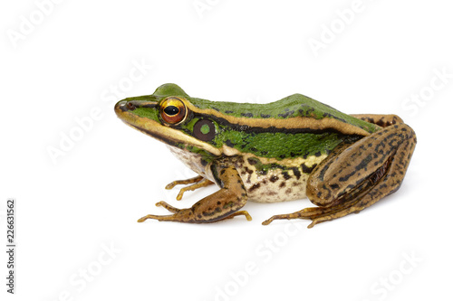 Obraz premium Image of paddy field green frog or Green Paddy Frog (Rana erythraea) on a white background. Amphibian. Animal.