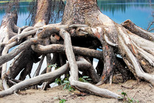 Twisted Roots At The Base Of A...