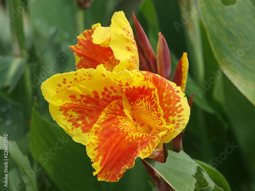 Fotografie, Obraz  The Favorite of Variegated Blooms is this gladiola of the iris family