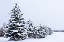 Row Of Snow Covered Evergreen ...