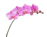 Fioletowe kwiaty orchidei Phalaenopsis na białym tle.
