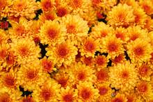 Blooming Yellow Chrysanthemum ...