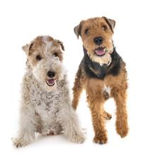 Fox Terrier And Welsh Terrier