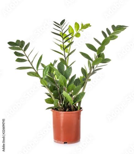 Zamioculcas in studio
