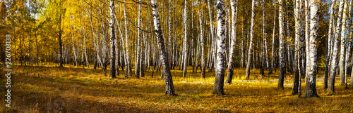 Beautiful autumn birch grove