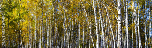 Cadres-photo bureau Bosquet de bouleaux Beautiful autumn birch grove