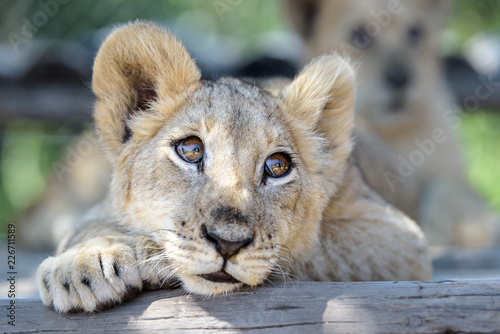 Fotografia Sleepy cute lion cub lying down on tree with other lion cubs, wildlife of Africa