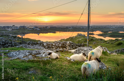 Sheep Ireland Sunset at a lake with sheep near Clifden, Roundstone and Connemara in Ireland