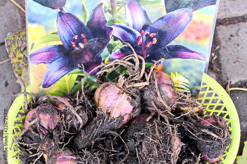 Photo  Tubers and bulbs of lilies garden flowers close up lying in a plate