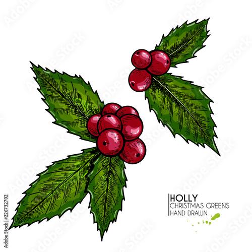 Christmas Greenery Vector.Hand Drawn Holly Vector Colored Illustration Christmas