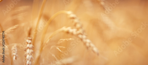 golden ears of wheat or rye, close up with drops of dew.