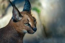 Caracal Wild Cat Close Up Portrait