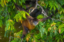Spider Monkey Screaming In Tree In Nicaragua On Monkey Island. Visit The Beautiful Places In The World, Experience And Learn What Travel Teaches.