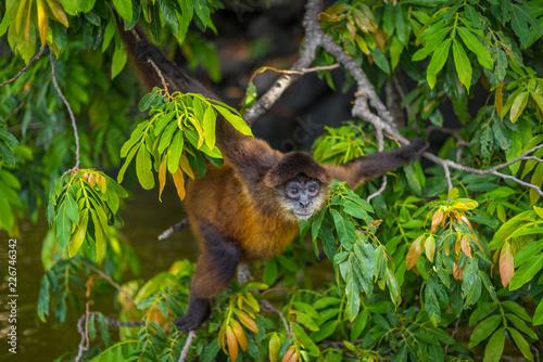Cuadros en Lienzo Spider monkey screaming in tree in Nicaragua on Monkey Island