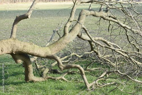 Spoed Foto op Canvas Onweer door de storm omgewaaide boom in weiland bij Kruisbergse bossen
