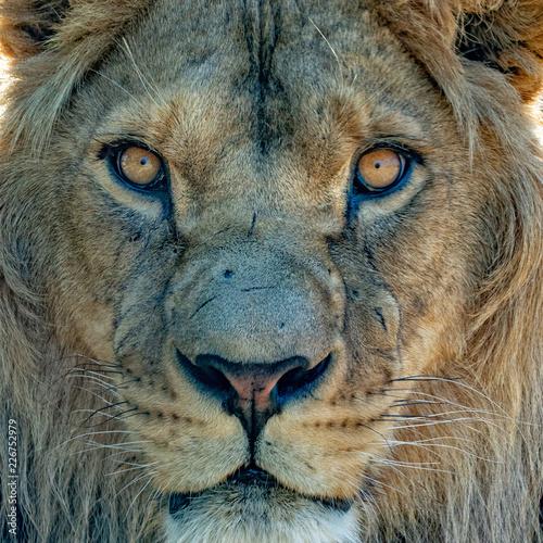 Fototapety, obrazy: male lion eyes close up