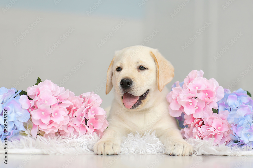 Fototapety, obrazy: Labrador puppy with flowers